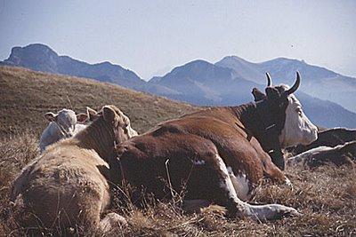 Africantal les cloches des vaches a g ne les citadins - Porter plainte contre son voisin pour nuisance sonore ...