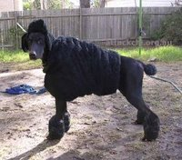 Poodle disguise