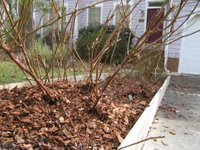Mulched rose bed