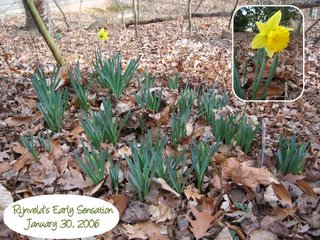 Daffodil blooming in Dilip's side yard