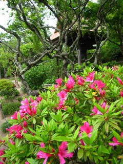 Azaleas, or 'tsutsuji', in Kamakura.