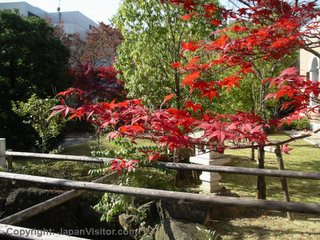 Japanese maple in autumn.