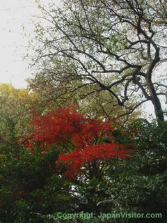 Autumn leaves in Shinjuku Gyoen.