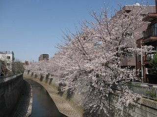 Cherry blossom on the Kanda River.