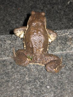 Japanese stream toad: Bufo torrenticora.
