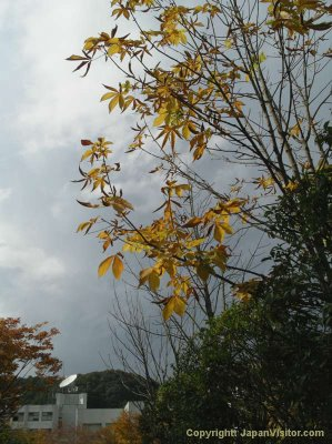 Takushoku University autumn branches.