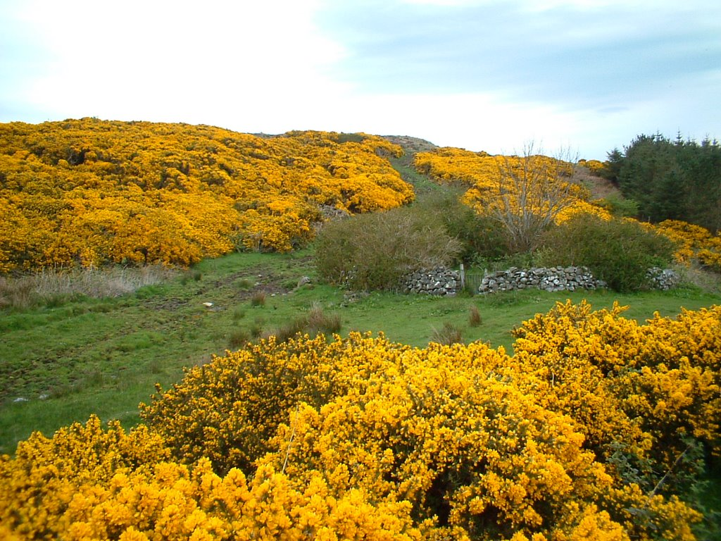 The Scottish Home When The Gorse Is In Bloom