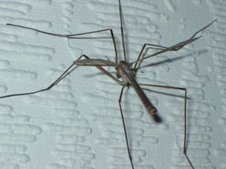 Cranefly or Daddy Long Legs