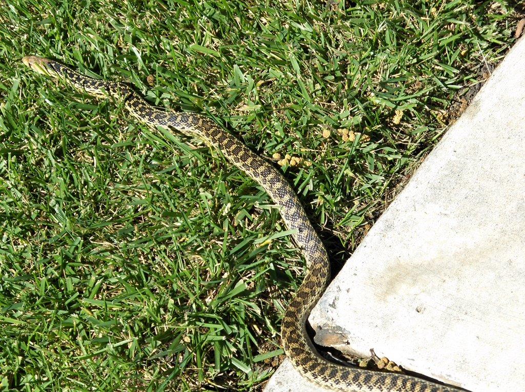 My California Garden in Zone 23: Snickety Snake in my Garden