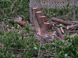 photo of the multi-tree we had in the backyard... cut down. Click to see the big version.