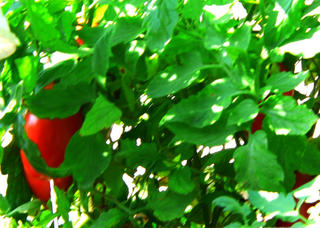 Italian Tomato Garden