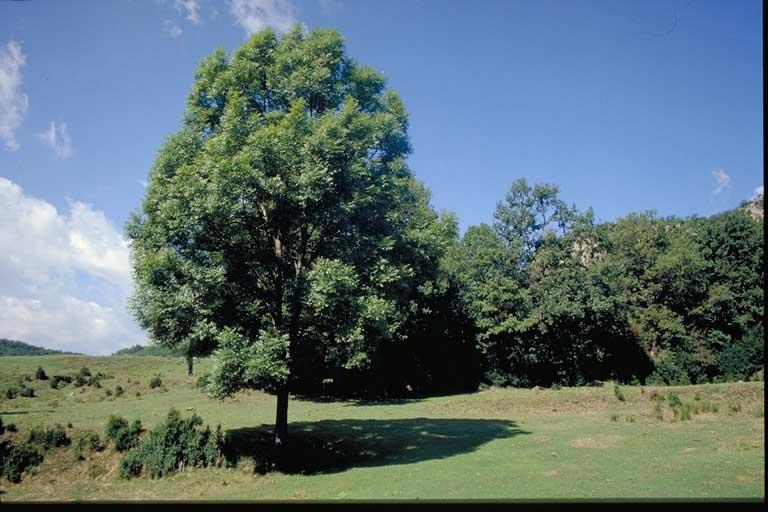 Fauna y flora de castilla y le n for Arboles ornamentales hoja perenne para jardin