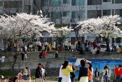Cherry blossoms in Seoul.