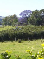 Photo by Deirdre: coffee trees, paddock, jacaranda