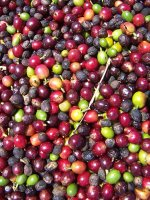 Photo by Deirdre: coffee harvesting 3, coffee cherries