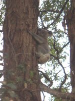 Photo by Deirdre: koala