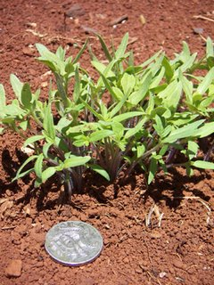 Photo by Deirdre: tomato seedlings, ten cent coin