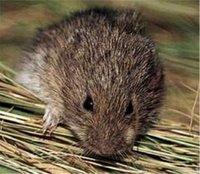 rato de cabrera