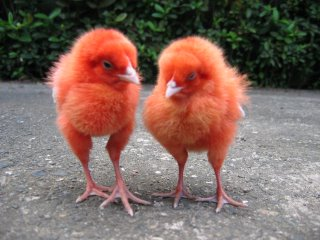 sleepy red chicks