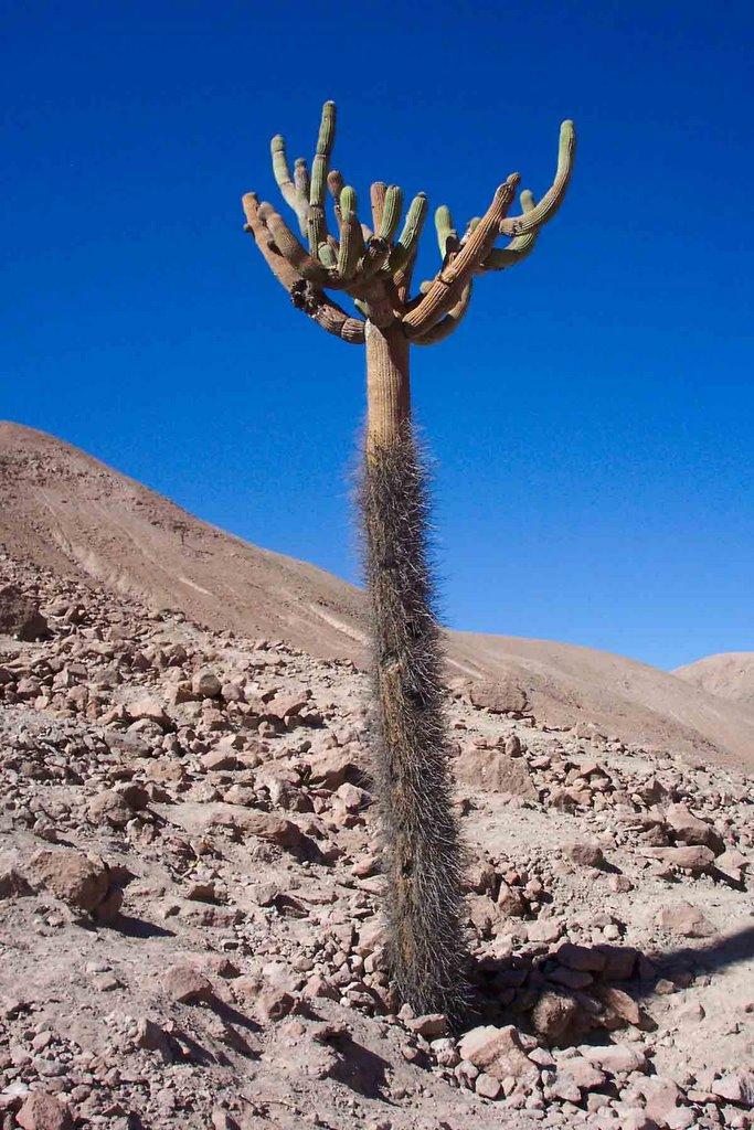 Arica parinacota turismo noviembre 2005 for Cactus santiago