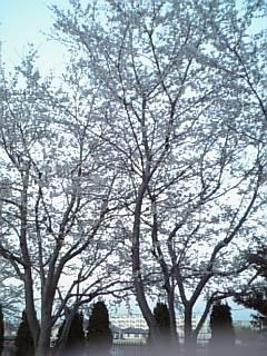 いつ見ても桜はきれいだわな