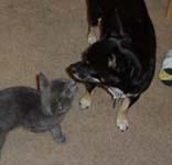 Gray kitten & Rico