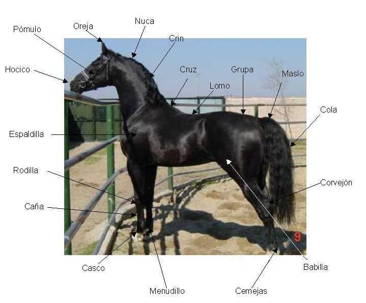 anatomía | Aprender a montar y cuidar a tu caballo