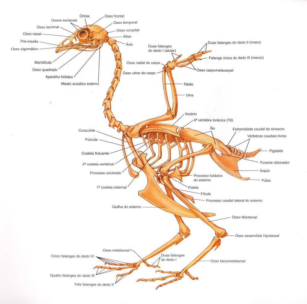 Moderno Anatomía Interna De Aves Foto - Imágenes de Anatomía Humana ...