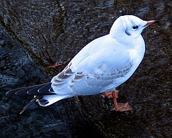 Black-headed Gull, Shinobazu Pond, Jan 5th 2005
