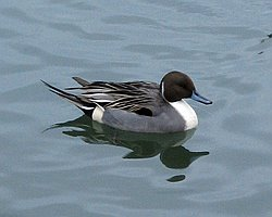 Northern Pintail, Sagamihara Chosuichi - Dec 1st, 2005