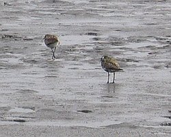 Pacific Golden Plovers at Tamagawakakou
