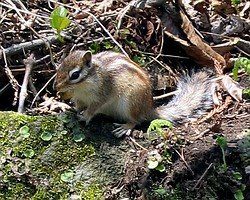 One of many squirrels along the walking trail - May 9, 2006