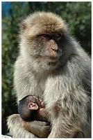 A Barbary Macaque resident of the Ape's Den in Gibraltar and baby