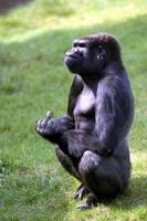 Gorilla giving the finger to Monday.
