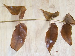 Picture of unidentified branch with tan, paired oval leaves extending singly on leaf stems from the single branch, with a terminal leaf at the tip of the branch.