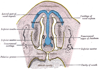 A diagram from Gray's anatomy of the vomeronasal organ in an embryo. The vomeronasal organ is located at the floor of the nose, a bit back from the nostrils, as two small pits just over the hard palate separating the nose from the mouth inside the depths of the skull.
