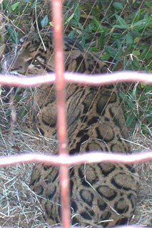 Clouded leopard sits with his back to the cage, looking over his shoulder. The spots on the leopard are actually large black-ringed blotches. The head looks rather like a large housecat rather than a lion