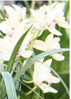 Large picture of white lilies with pink centers, the symbol of peace