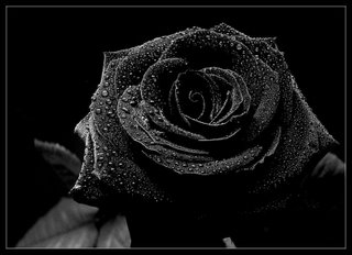 I Love My Black Rose!