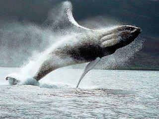 hump whale breeching!