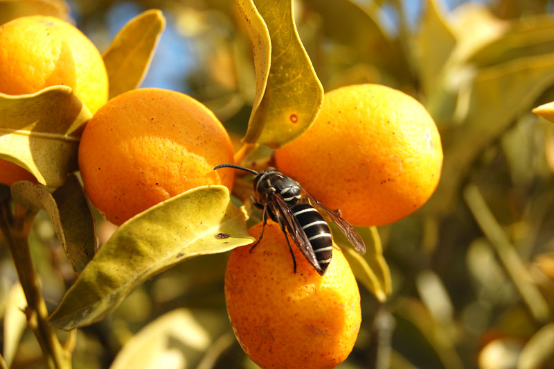 Bee On Orange
