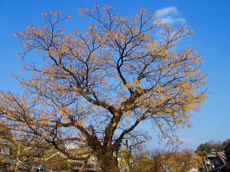 Camphor Tree @ Kurashiki, Japan