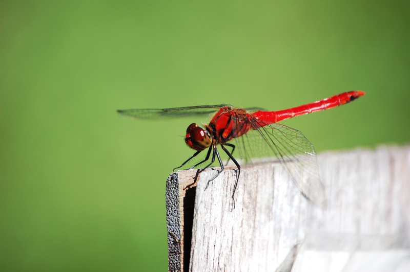 Red Dragonfly #1