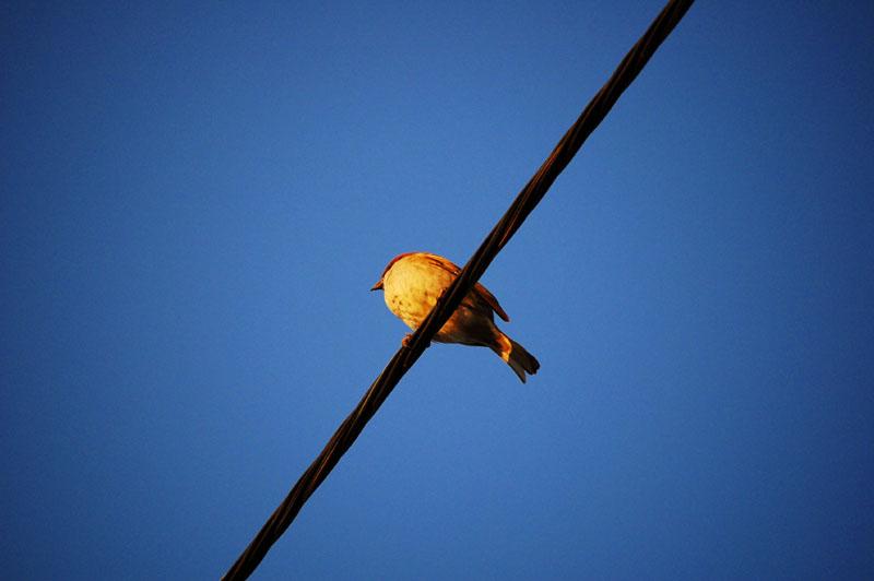 Evening Sparrow