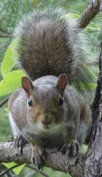 Pet Pictures: Sciurophobia - Fear of Squirrels - A Picture of a Squirrel