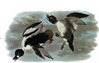 John James Audubon, Golden-Eye Duck