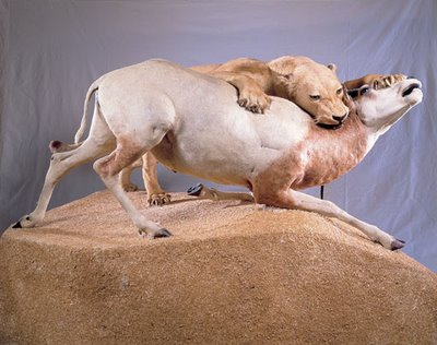 Lion attacking antelope, taxidermic diorama from the Muséum d'Histoire naturelle