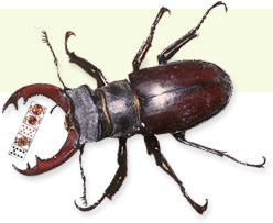 """Is it acceptable for you to say to your partner, """"I have it with the ...  Giant Horned Beetle"""