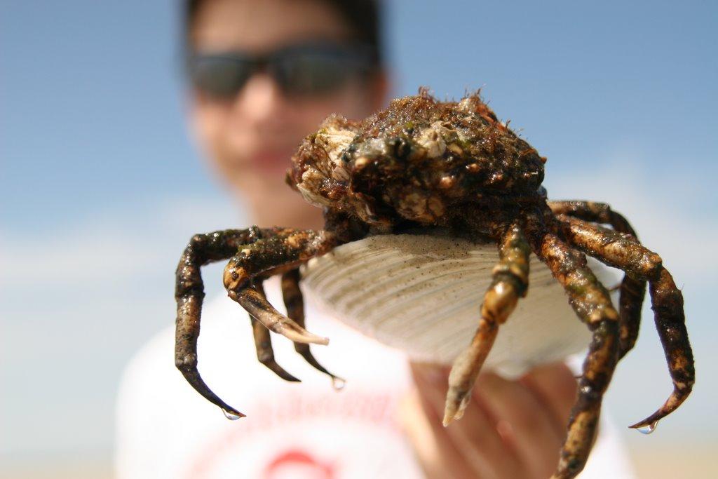Spiders Of Cape Cod Part - 28: Spider Crab