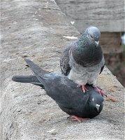 Diese Tauben hatten keine Hemmungen, sich direkt vor unserer Nase fortzupflanzen. Aufgenommen auf dem Viaduc des Arts.